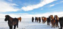 Islandshästar trivs i flock