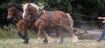 Hästar blir allt vanligare vid skogsarbete